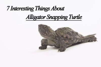 7 Interesting Things About Alligator Snapping Turtles (2019