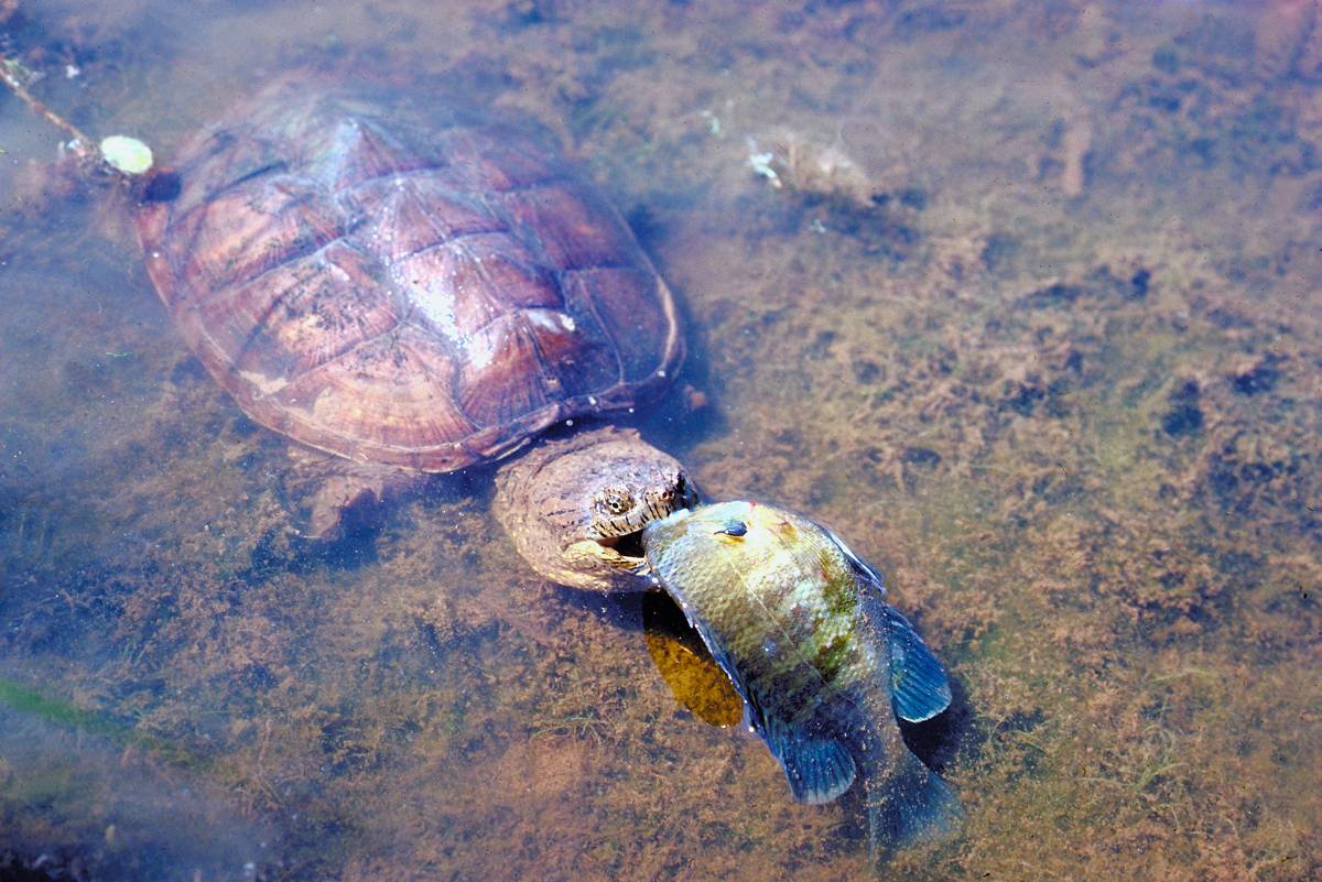 Alligator Snapping Turtles Eating