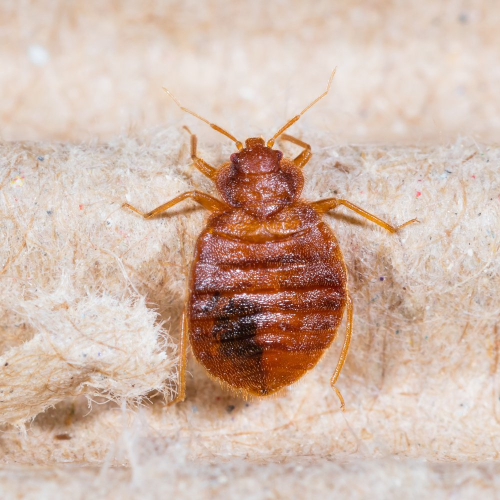 Bed Bugs Adults