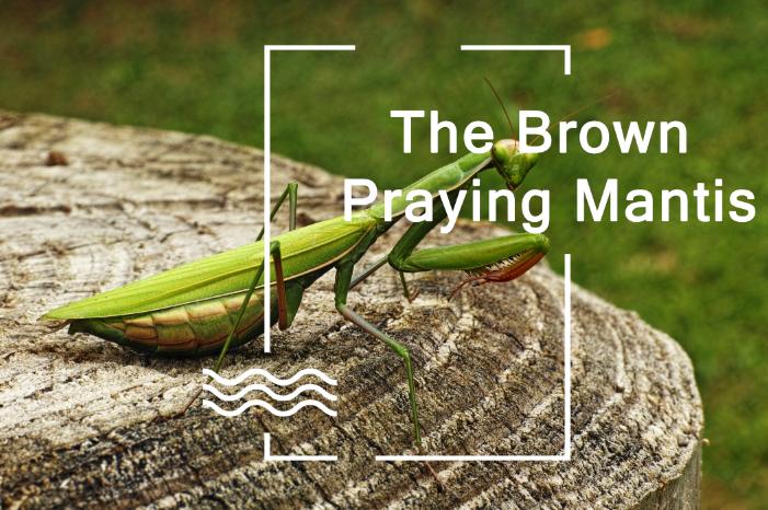 praying mantis eggs hatching temperature