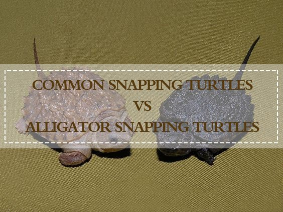 Common Snapping Turtle vs Alligator Snapping Turtle