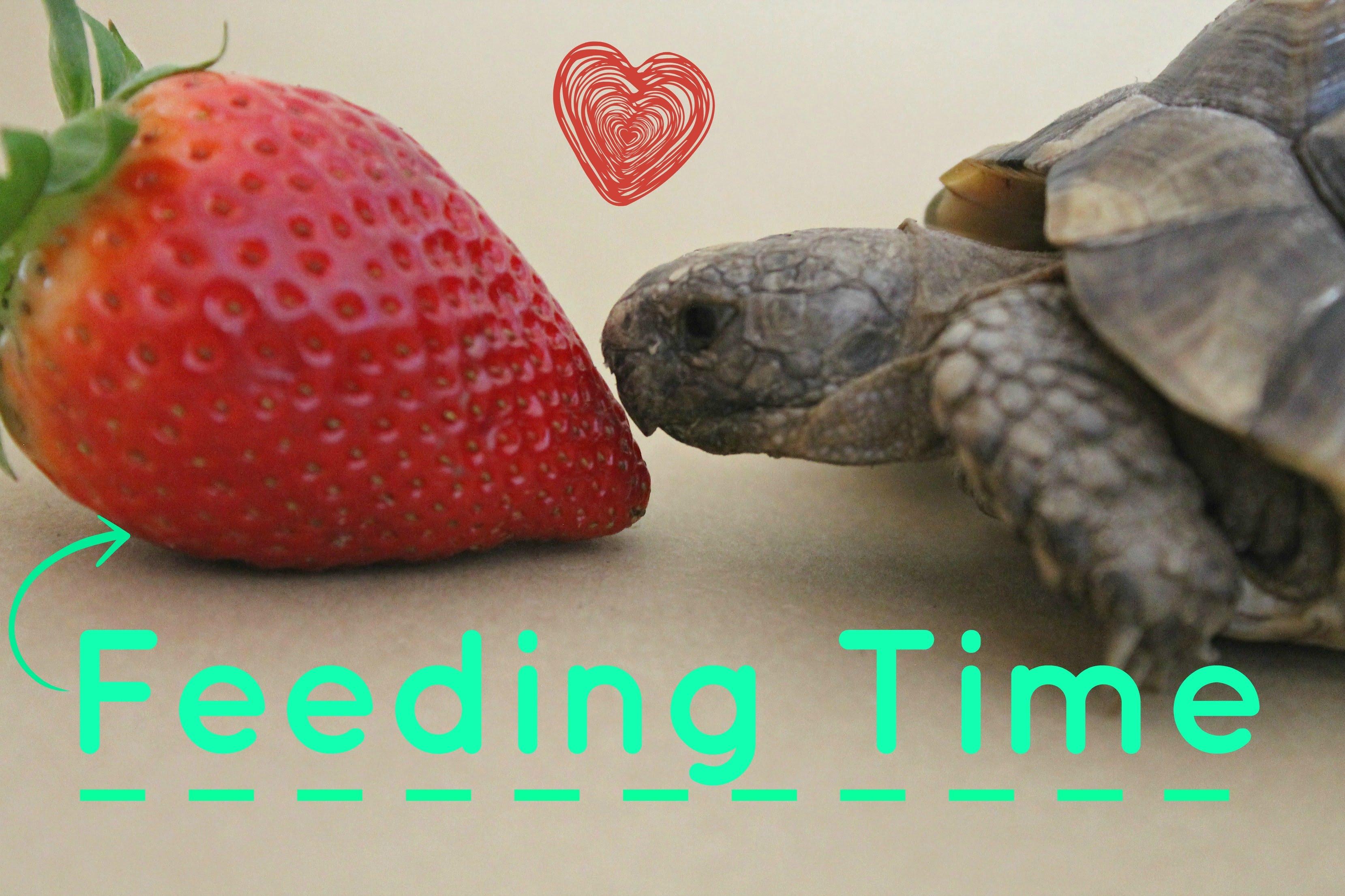 Feeding Your Tortoise