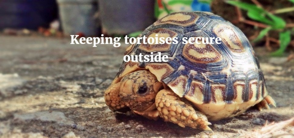 Keeping Your Tortoise Outdoors