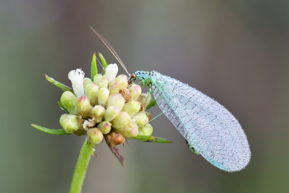 Lacewing Adults