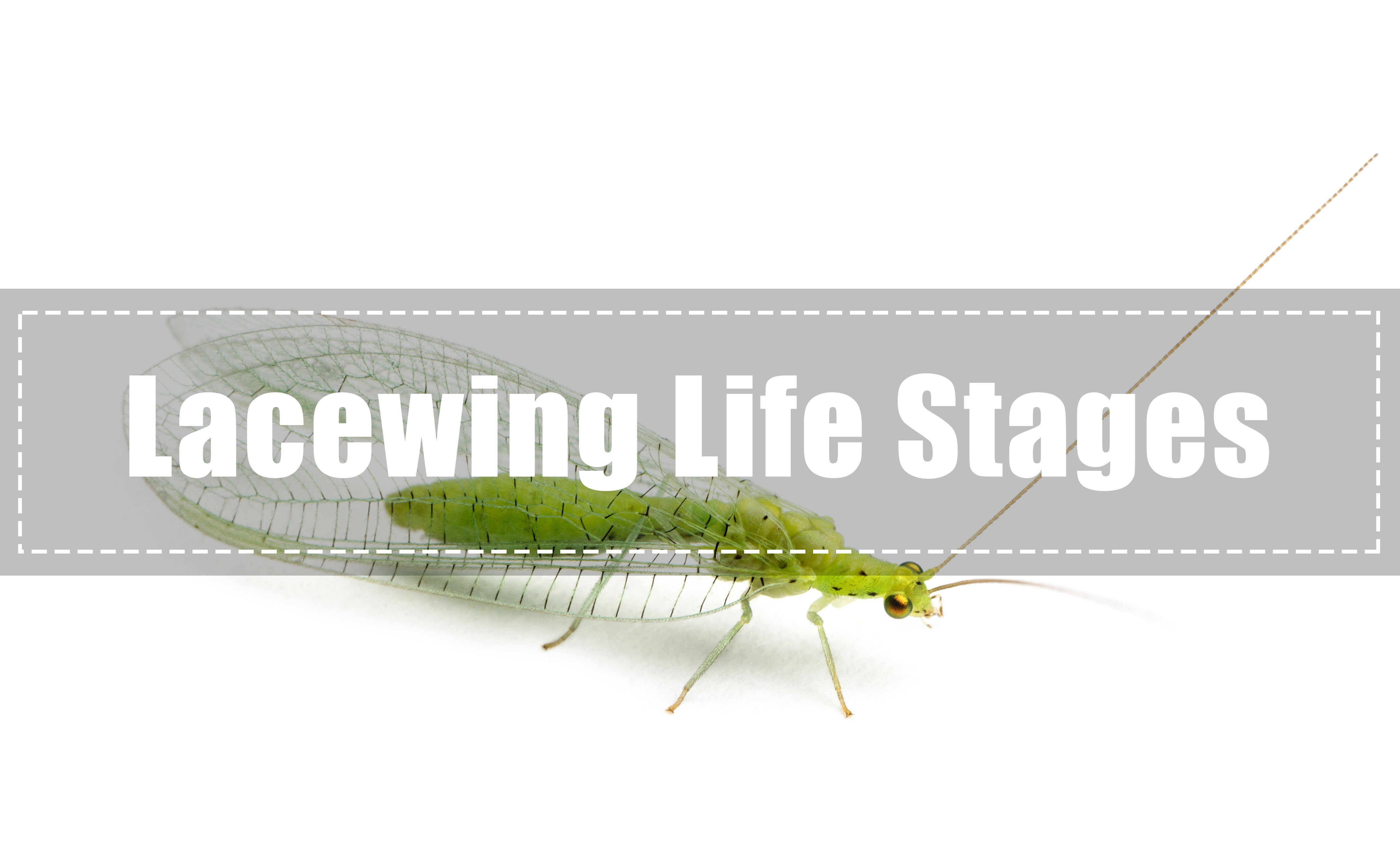 Lacewing Life Stages