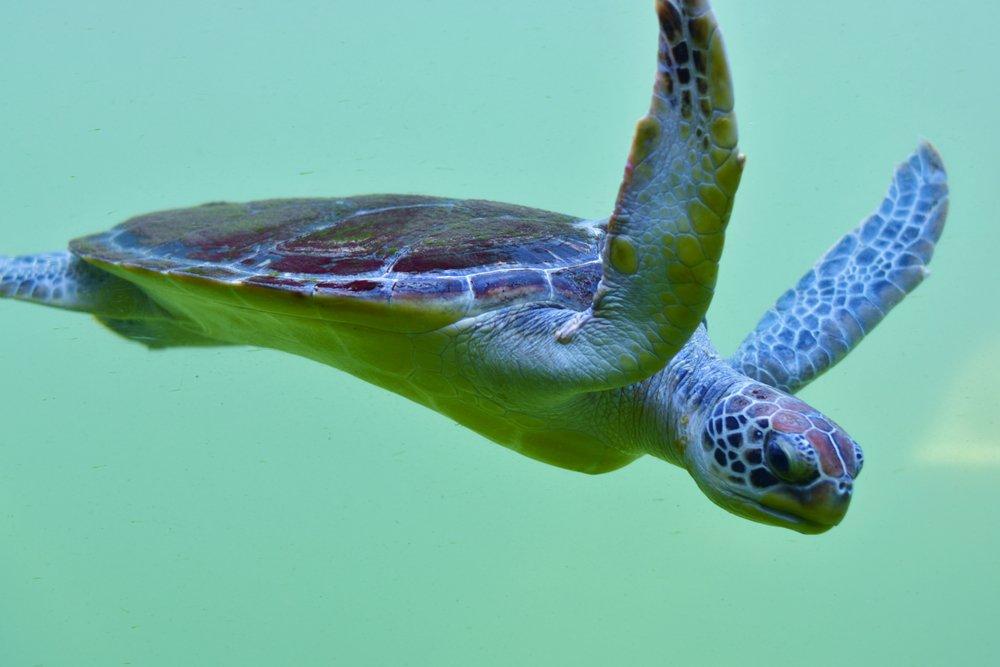 Snapping Turtle Underwate