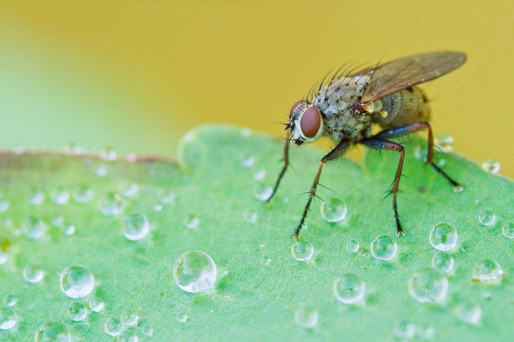 Tachinid Flies