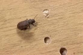 carpet beetle damage