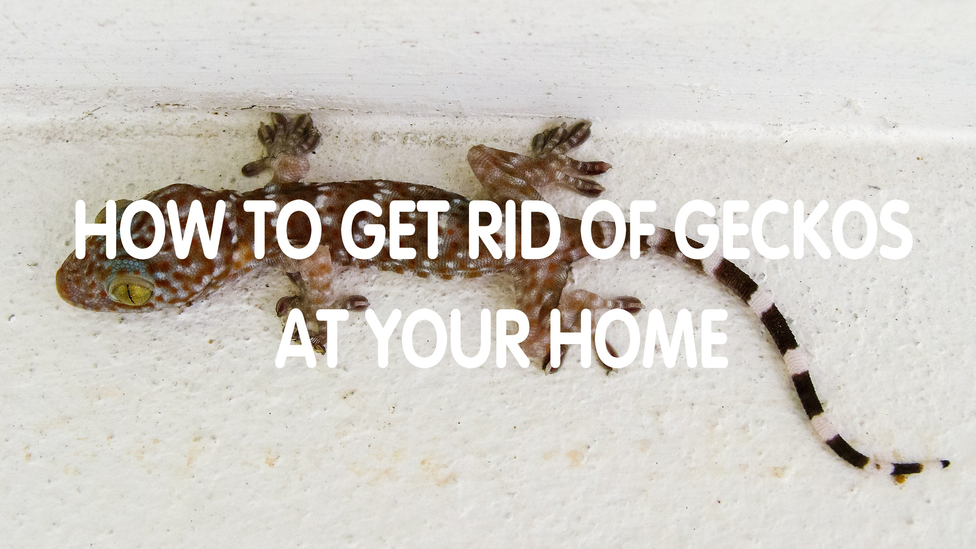15 DIY Ways to Control Geckos Naturally (Homemade Remedies) - Pest Wiki