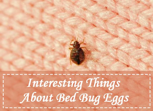 Bed Bug Eggs (Pictures): How to Kill Bed Bug Eggs? - Pest Wiki