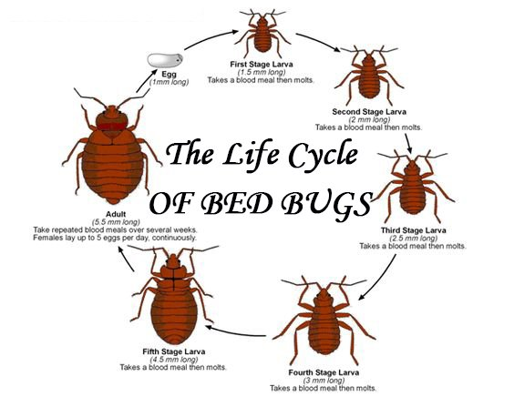 Everything You Need To Know About The Life Cycle Of Bed Bugs Pestwiki