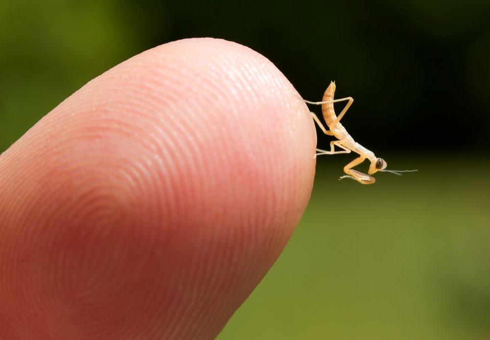 pet brown praying mantis