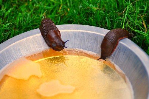 slug beer trap