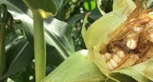 Armyworms exist in your garden