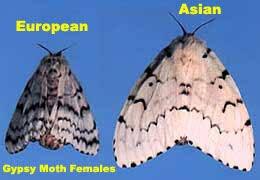 Asian VS European Gypsy Moth