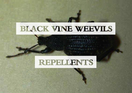 Black Vine Weevils Repellents