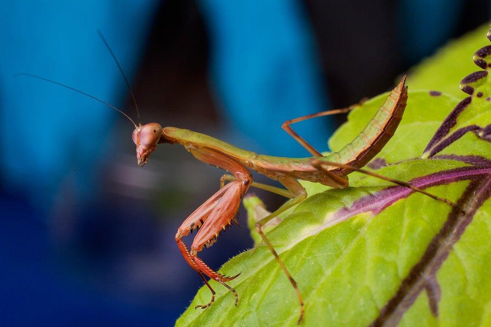 Breed Praying Mantis