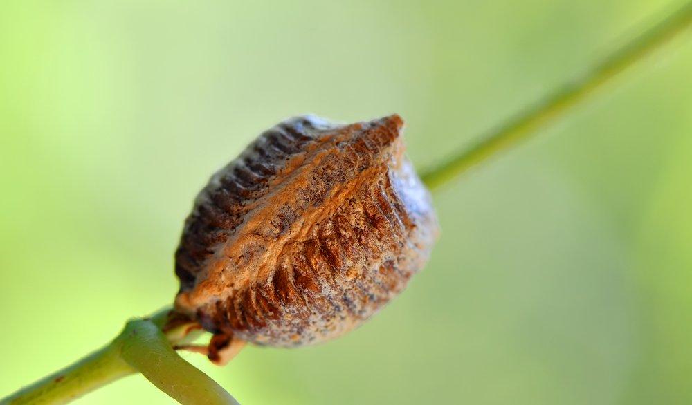 Breed mantis eggs