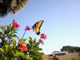 Bringing Butterflies to a Garden