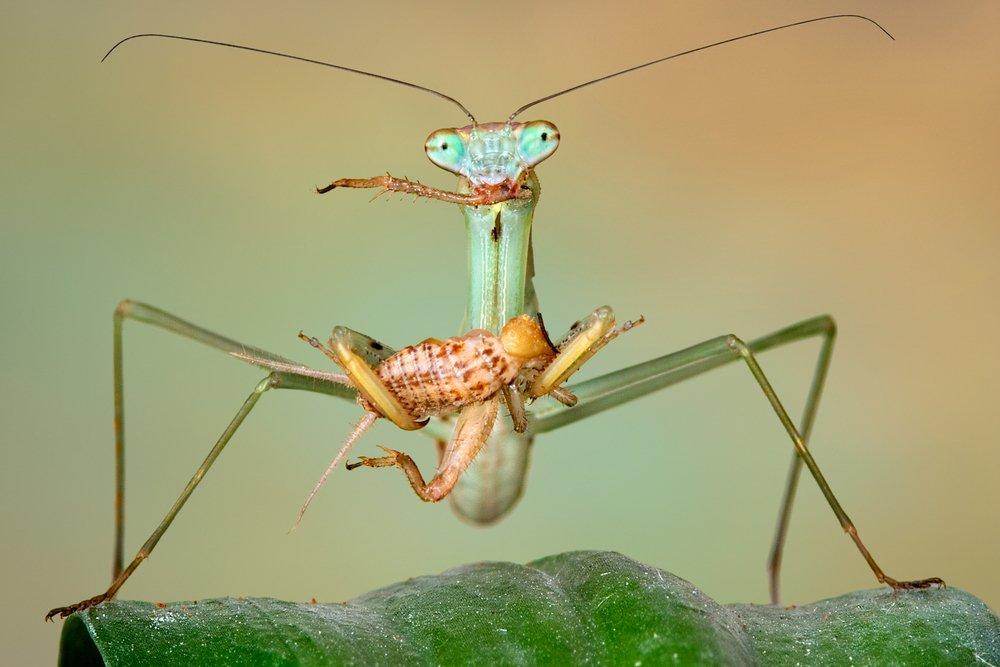 Chinese Mantis Eat Pest
