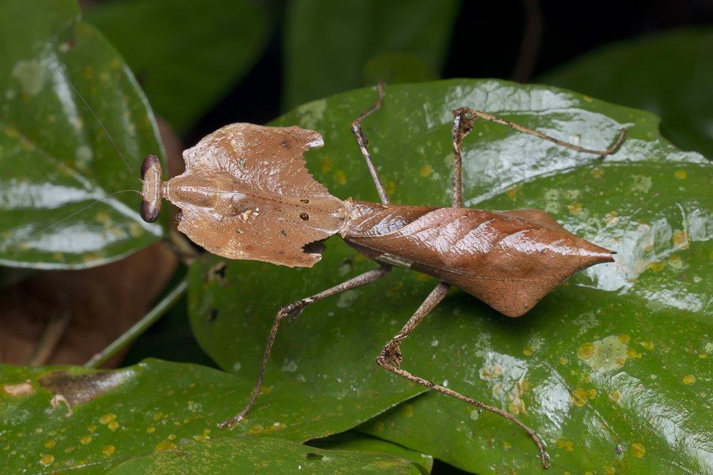 Deaf Leaf Mantis