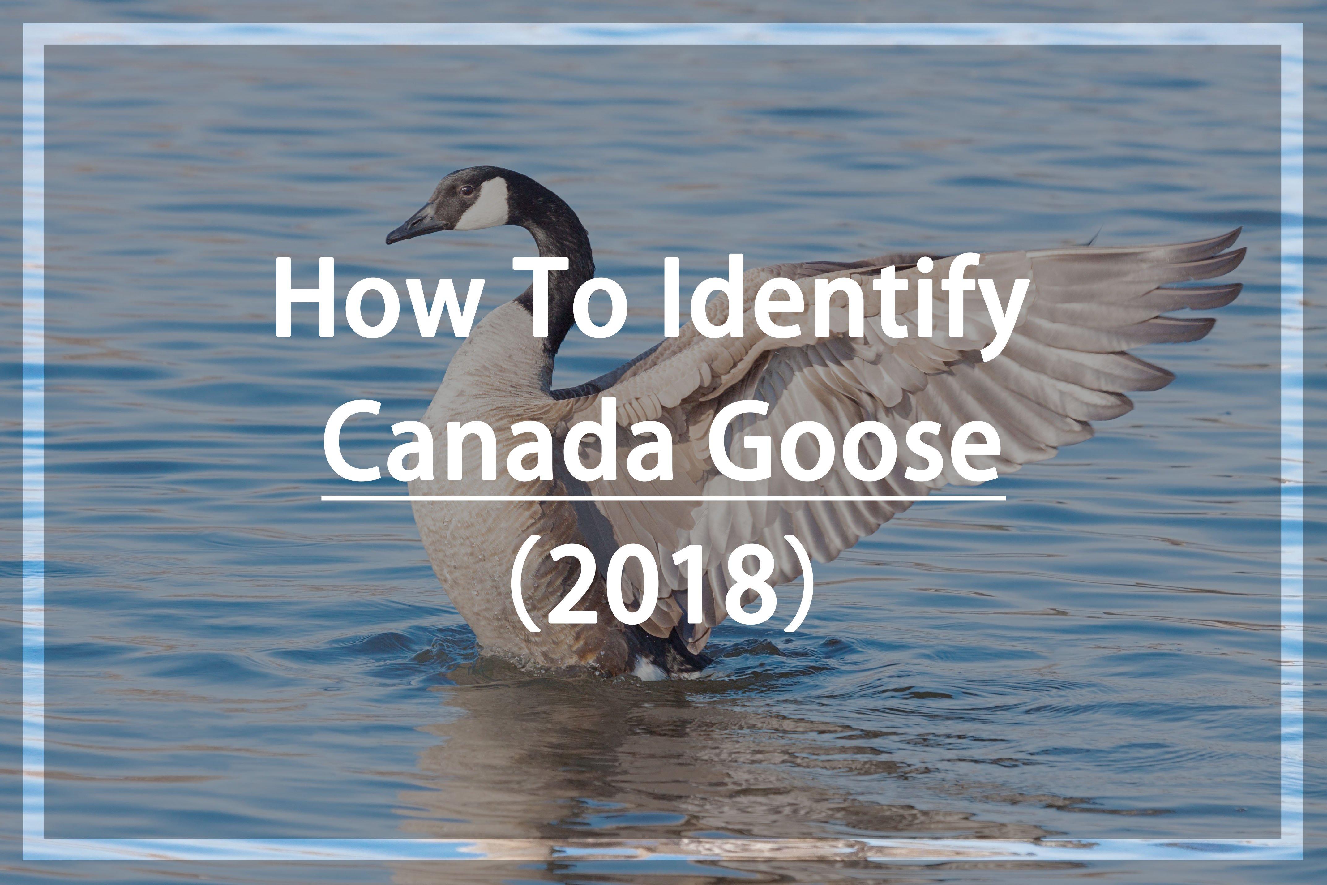 Identify Canada Goose