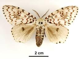 Japanese Gypsy moths
