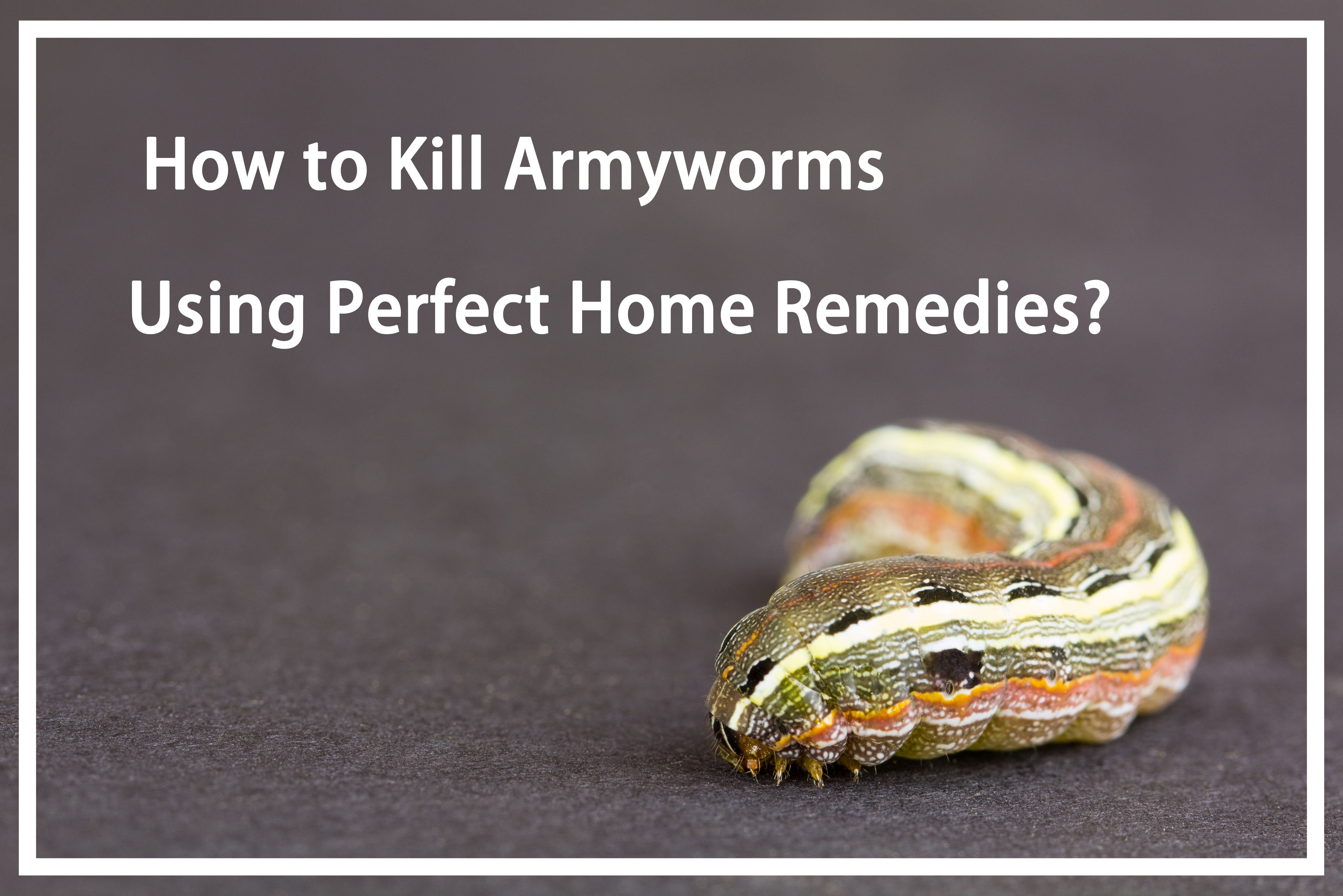 Kill Armyworms