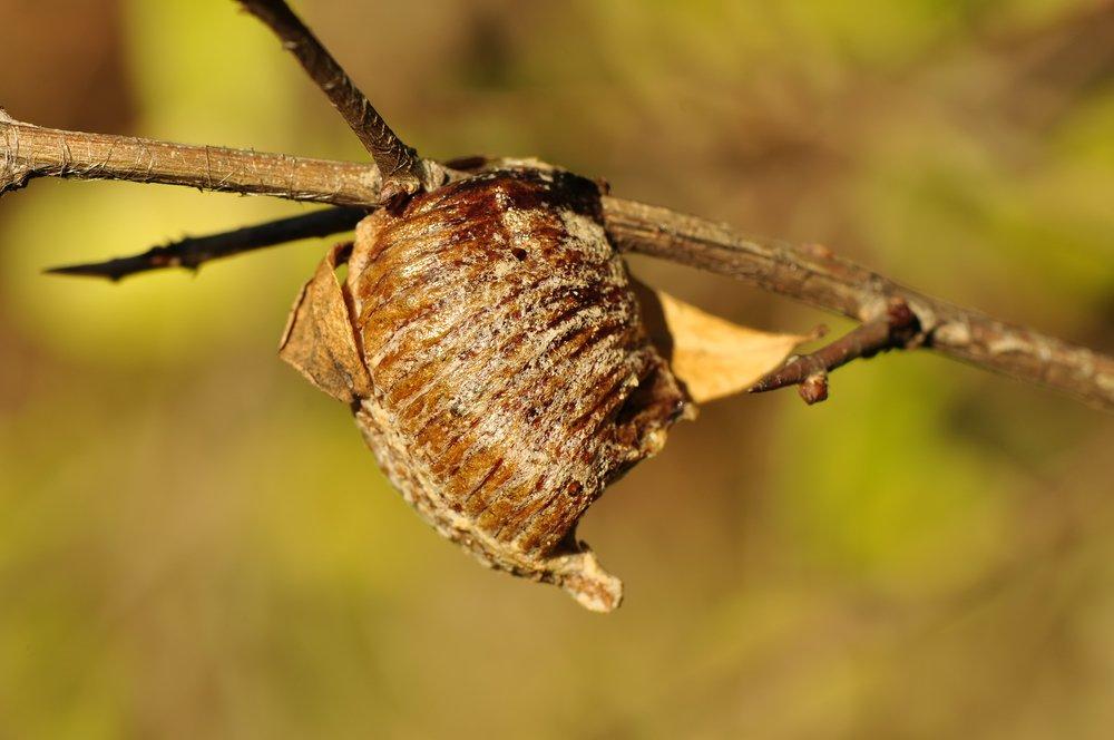 Praying Mantises Egg