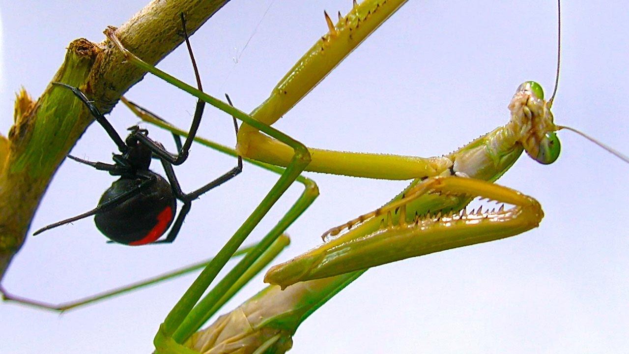 Praying Mantises Pest Control