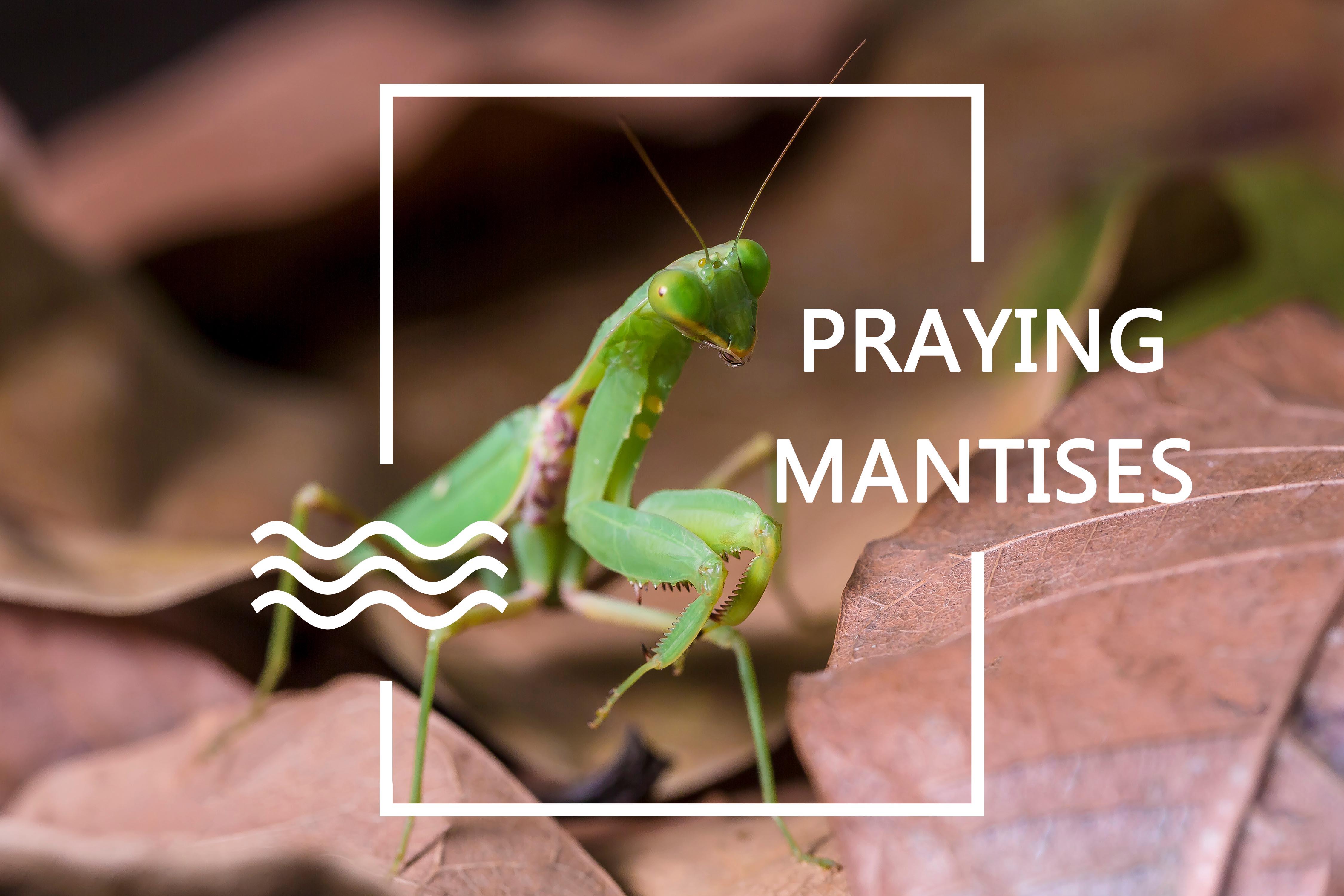 Praying Mantises Using Praying Mantids For Pest Control Pest Wiki