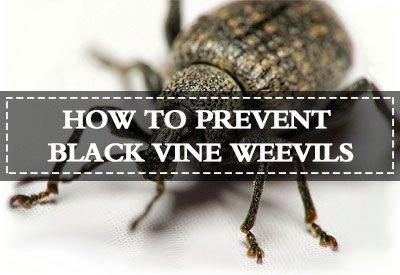 Prevent Black Vine Weevils