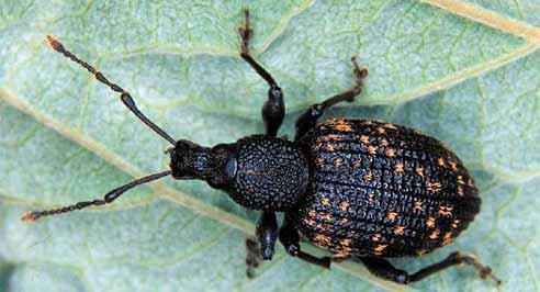 Spot Black Vine Weevils