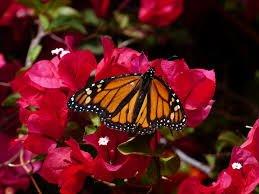 flower colors butterflies pollinate