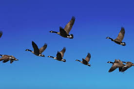 geese can see from the sky