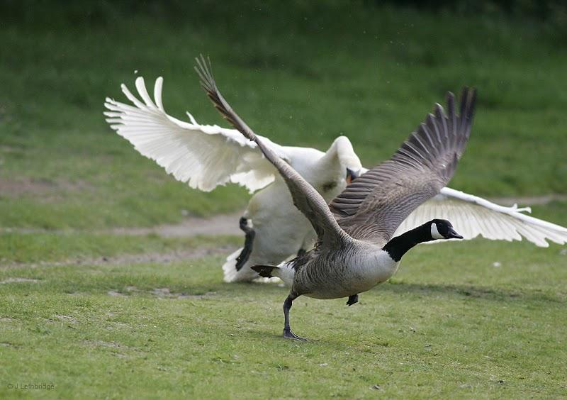 geese nature