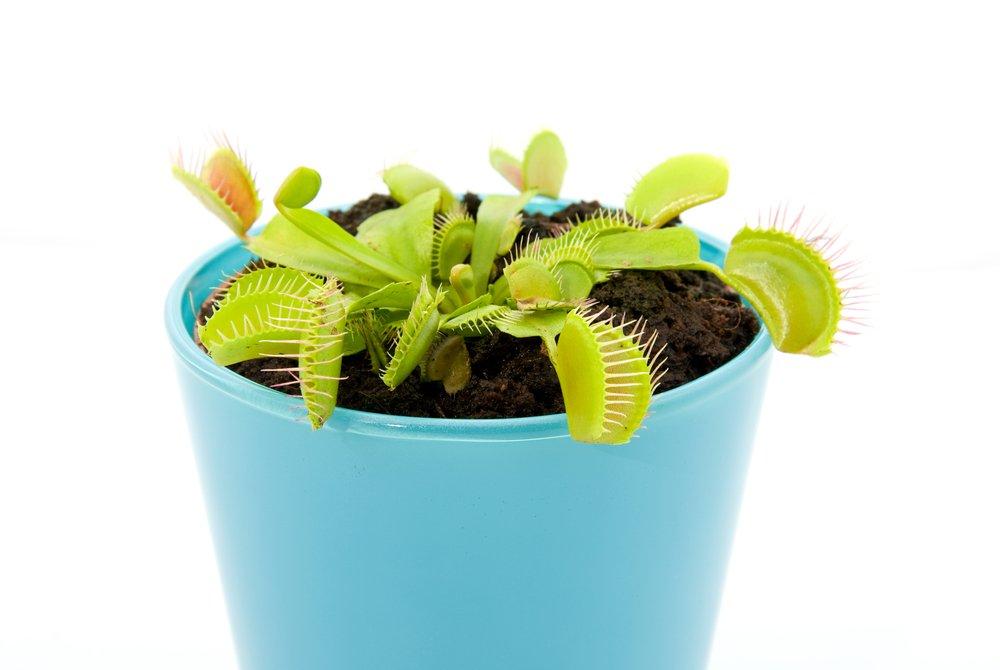 Grow Venus Flytrap