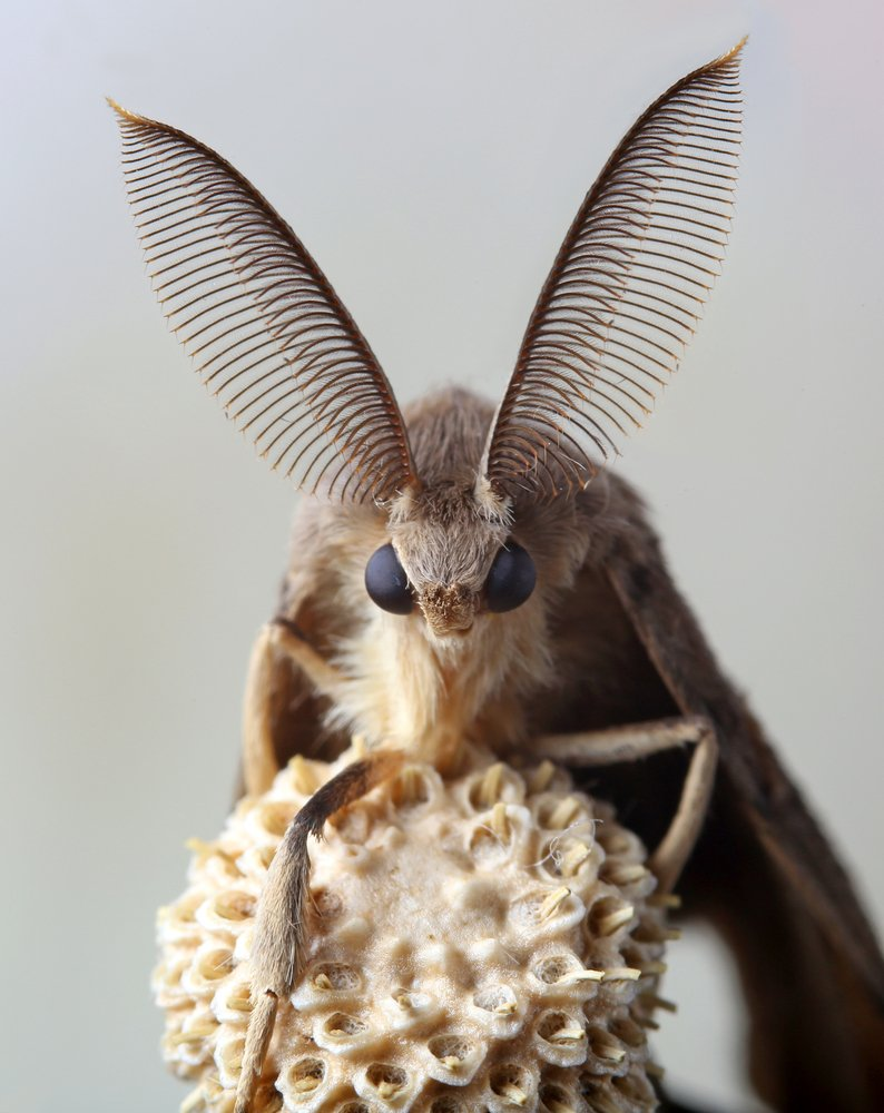 Control Gypsy Moth Naturally