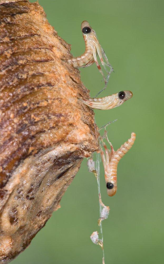 mantis nymphs