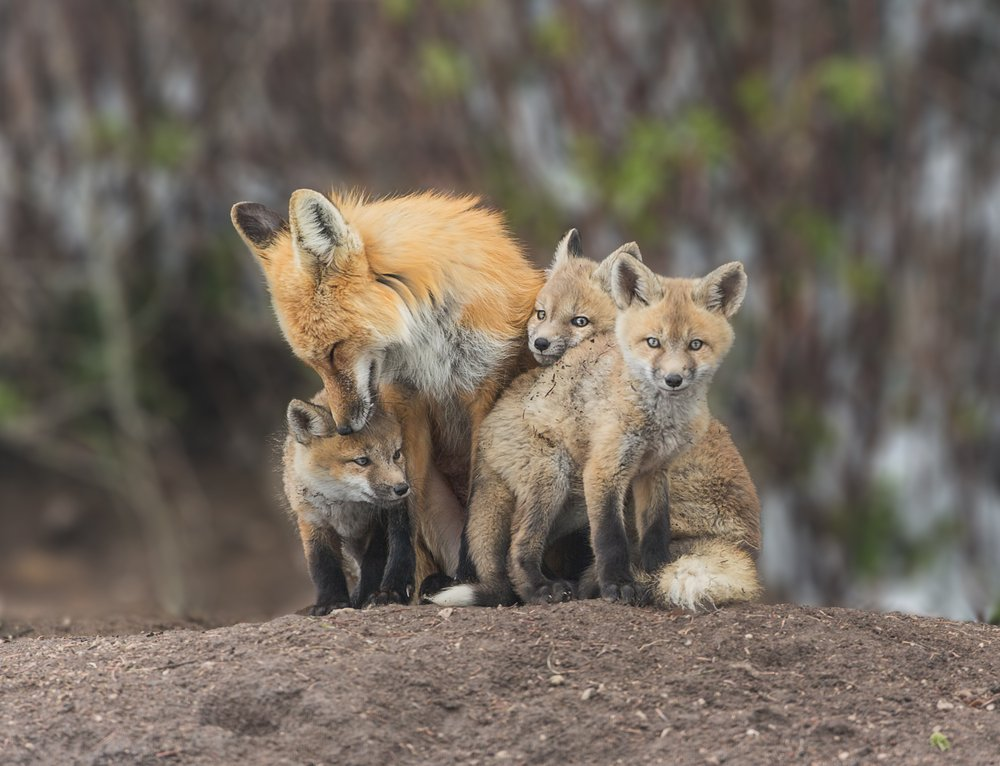red fox live in
