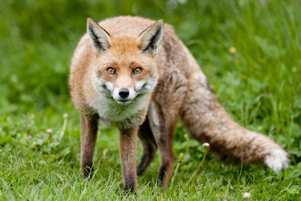 red fox attack