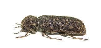 Bostrichidae Powderpost Beetles