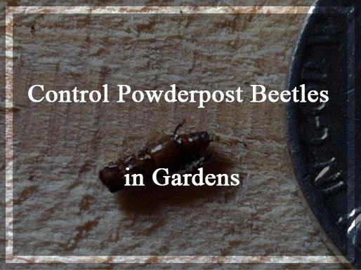 Control Powderpost Beetles Naturally