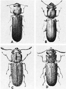 different types of powder post beetles