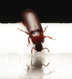 get rid of powderpost beetles