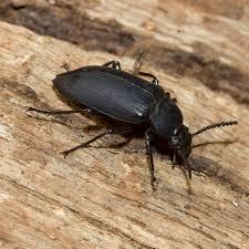 powderpost beetles