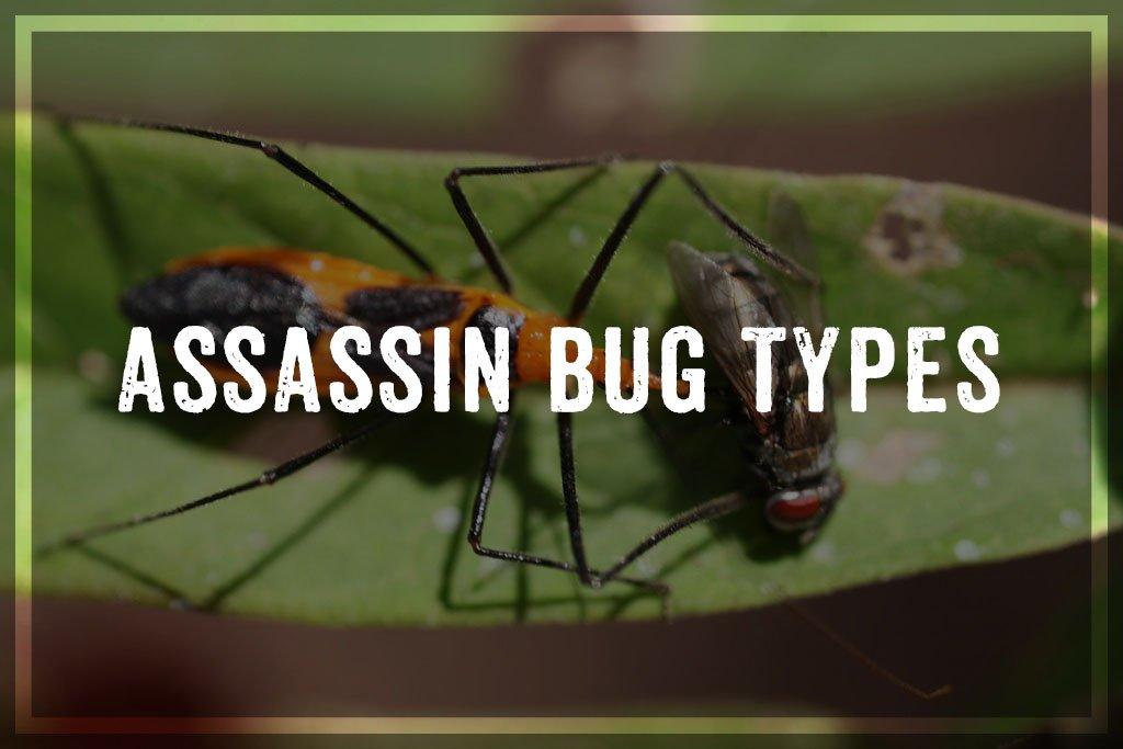 Assassin Bug Types