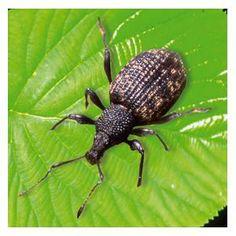 Control Weevils In Your Garden