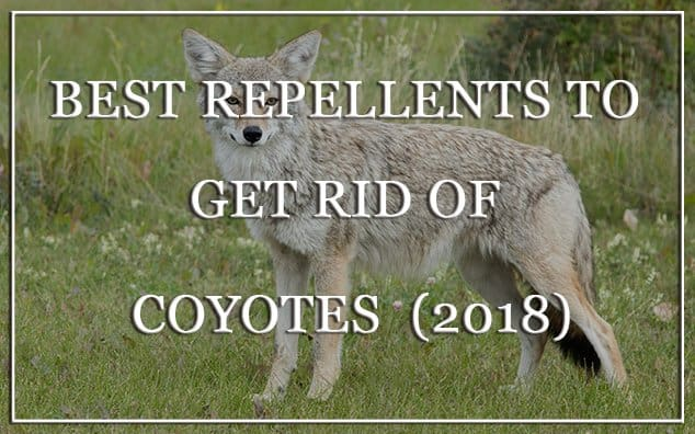 6 Best Repellents to Get Rid of Coyotes