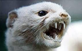 Are Weasels Dangerous